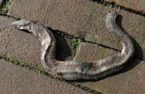 De platgereden hazelworm van de Badweg